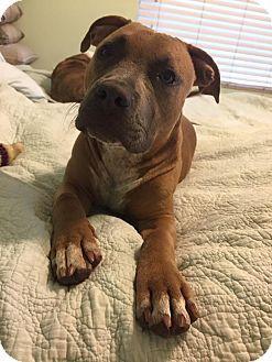 1000+ ideas about Boxer Terrier Mix on Pinterest | Boxador ...