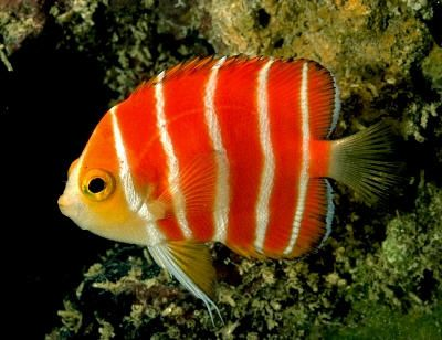 This peppermint angelfish looks more like a tangerine creamsicle.