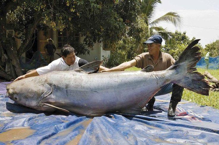 ปลาบึก เป็นปลาน้ำจืดขนาดใหญ่ชนิดหนึ่ง ไม่มีเกล็ด อาศัยอยู่ในแม่น้ำโขงตั้งแต่ประเทศจีน, ลาว, เมียนมาร์, ไทย  เป็นปลาที่เสี่ยงต่อการสูญพันธุ์เนื่องจากการจับปลามากเกินไป คุณภาพน้ำที่แย่ลงจากการพัฒนาและการสร้างเขื่อนบริเวณต้นน้ำ ในธรรมชาติยังไม่มีผู้พบปลาวัยอ่อน ปลาบึกเป็นปลาที่อพยพว่ายน้ำจากแม่น้ำโขงในเขตประเทศจีน เพื่อที่จะไปผสมพันธุ์และวางไข่ที่ทะเลสาบเขมร โดยฤดูกาลที่ปลาอพยพมานั้น ที่อำเภอเชียงของ จังหวัดเชียงราย