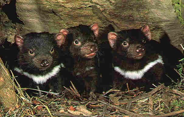Tasmanian Devils. Devil facial tumour disease (DFTD) is an aggressive non-viral transmissible parasitic cancer. It is spread by devils biting each other's heads when fighting over food. http://en.wikipedia.org/wiki/Devil_facial_tumour_disease