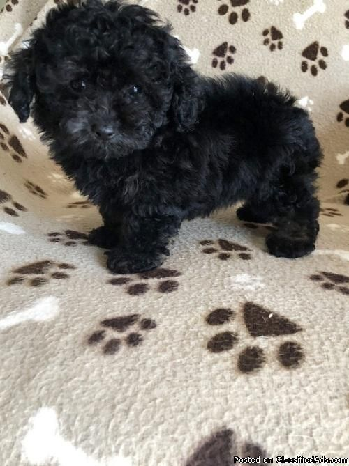 ADORABLE 11 WEEKS OLD POODLE PUPPIES ! - Classified Ad | puppies
