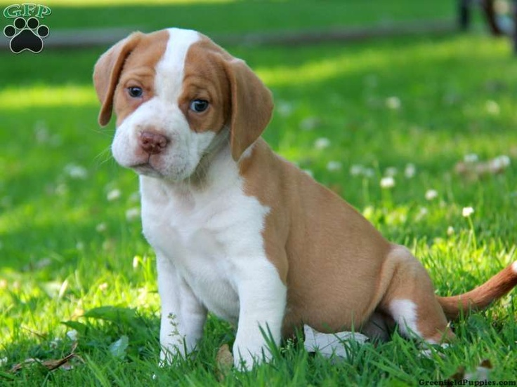 Reese, Beabull puppy for sale in Bird in Hand, Pa ...