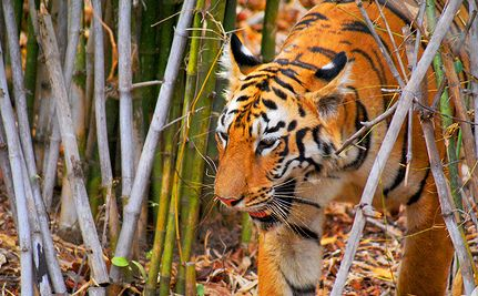 Tigers Make a Comeback: Something to Roar About.  Good news for a change!