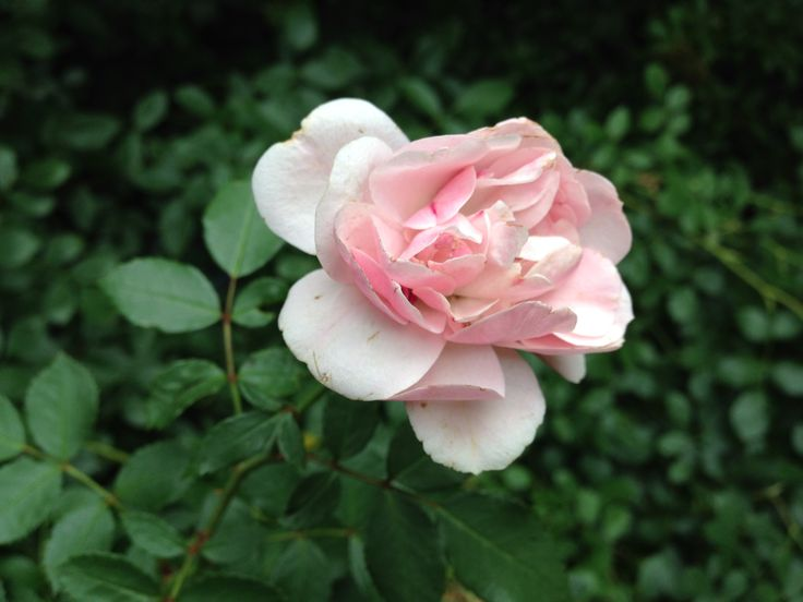 Rosa damascena, profumatissima!