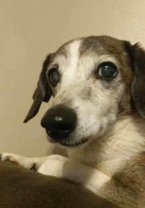 Fort Walton Beach, FL - Meet Grace, a Petfinder adoptable Dachshund Dog located at The Rescued Rescuers, Inc. Fort Walton Beach, FL
