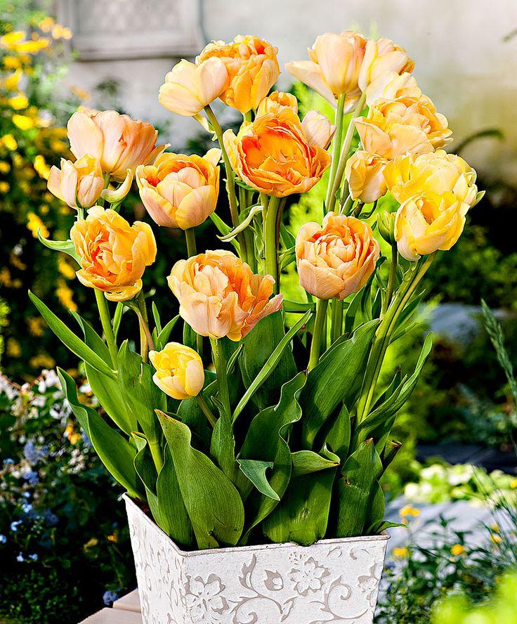 Tulip 'Charming Beauty' | Flower Bulbs from Bakker Spalding Garden Company