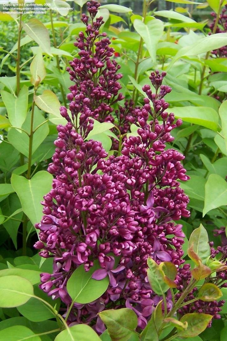 French Lilac (Syringa vulgaris