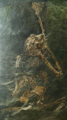 Oreopithecus  es una especie extinta de primate hominoideo que vivió durante el Mioceno. Sus fósiles han sido hallados en Italia, especialmente en Toscana y Cerdeña y en el este de África.Caracterizados por un hocico corto, los huesos nasales elevados, el neurocráneo pequeño y globular, plano orbital vertical, y huesos faciales gráciles.