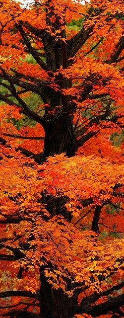 You want to take my breath away?  Stand me under a tree filled with striking color.  It happens every time.