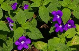 "browallia speciosa - ""bush violet/sapphire flower"". Annual for semi-shade to sun"