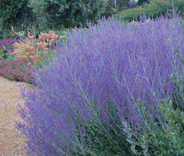 Purple Perovskia Atriplicifolia 'Little Spires' - Tough & Drought Tolerant
