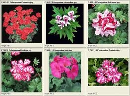 pelargonium zonale - Google Search