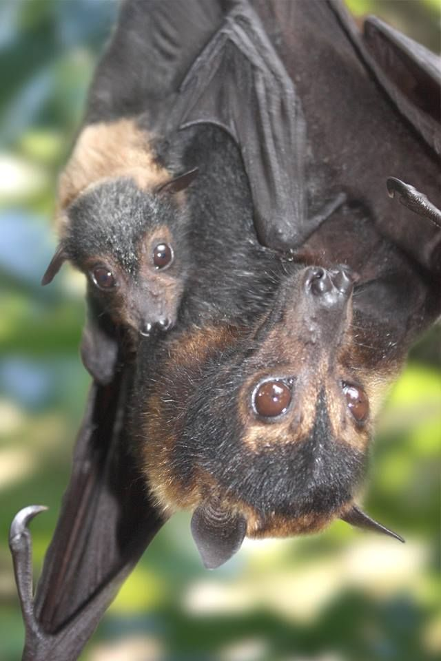 Best 1072 Fruit Bats images on Pinterest | Animals and pets