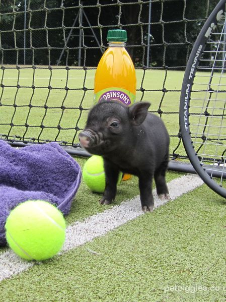 Look how teeny and fuzzy this micro pig is. And that wee smushy face ... be still my heart!