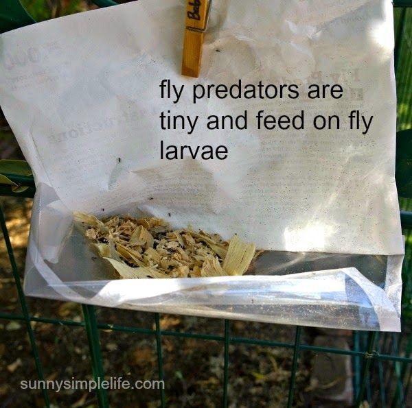 best way to get rid of flies in the chicken coop how to
