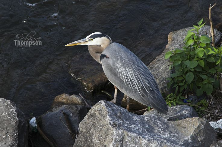 A heron perched on the rocks by the water fall waiting for dinner. Lachine Canal