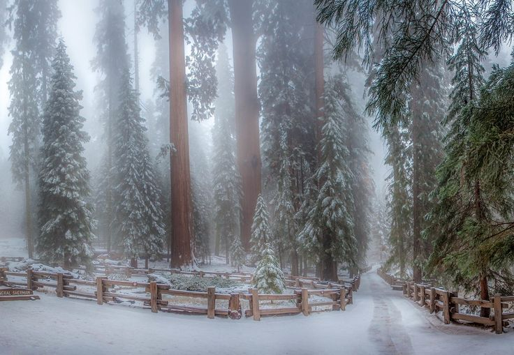 This is the Sequoia forest it's a panorama of 4 photos. It was very cold and there was a lot of fog which I love because the fog gives dimension to the photo. My fingers were almost frozen with my camera to get the shot!  #photoserge #sequoia #fog #forest #trees #snow #panorama  I wanted to thanks all the people that were live with me at noon thanks for your great questions and nice comments it was a really fun Q&A also thanks to my daughter @frenchy_marine and my wife @karen_bommel_ramelli…