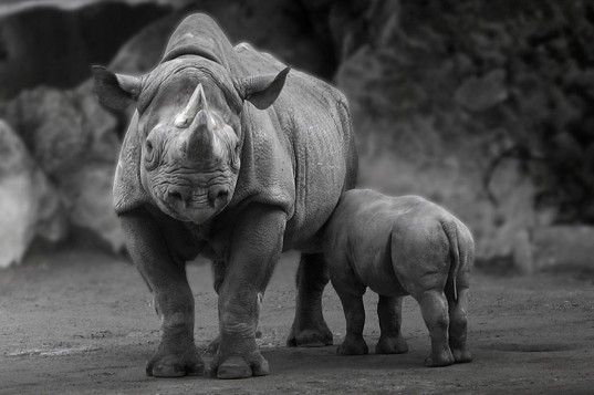 Rhino Poaching has Increased 5000% in Past 6 Years