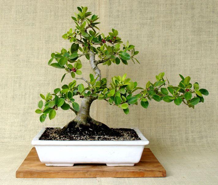 1000 ideas about bonsai ficus on pinterest bonsai jade. Black Bedroom Furniture Sets. Home Design Ideas