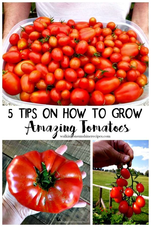 Tips On How To Grow Amazing Tomatoes Growing Tomatoes Home