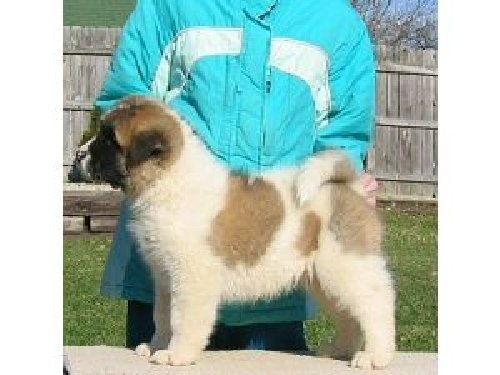 17 Best Images About Akita Dog S On Pinterest Dog Of The