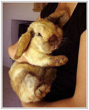 Holland Lop love <3