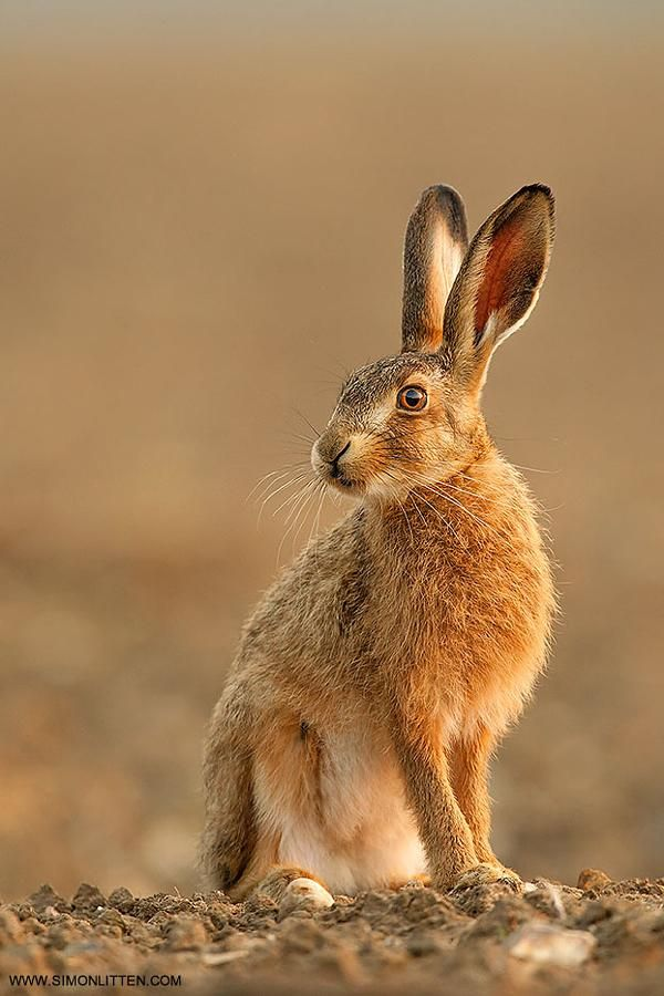 Brown Hare | Workshop Image by Simon Litten: Fine Art Photography http://alldayphotography.com