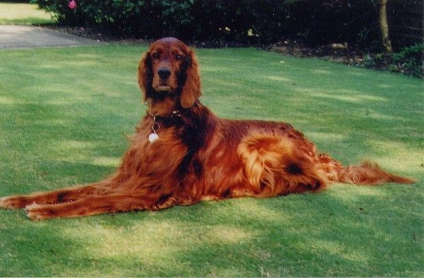 Dog Breed of the Day: Irish Setter