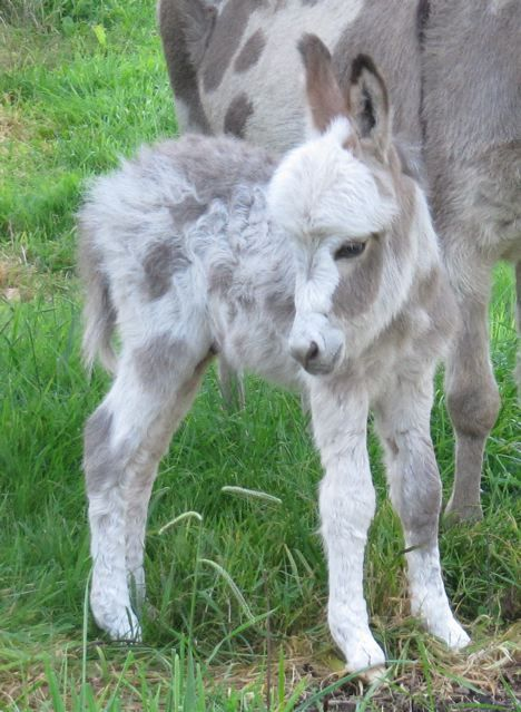 Micro Mini Donkeys / just way too cute