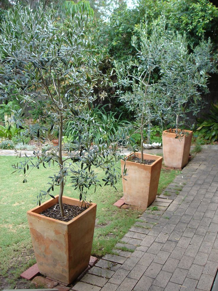 Beautiful Corregiola Olives In Terra Cotta Pots, Very Attractive. It Would Be Nice If  We