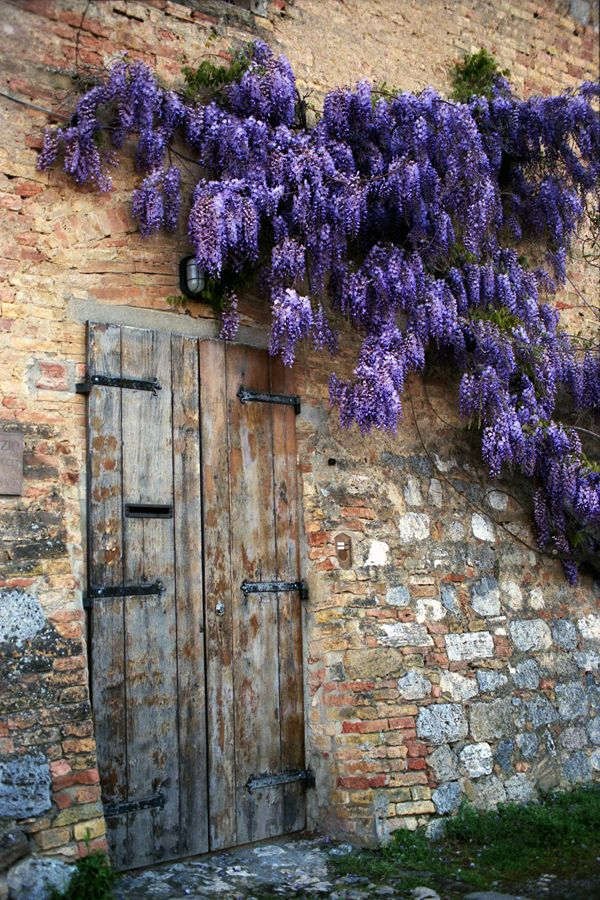 Wisteria for the trellis behind the urn