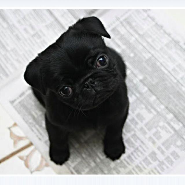 Via Tumblr - baby pug! baby #pug! baby pug!