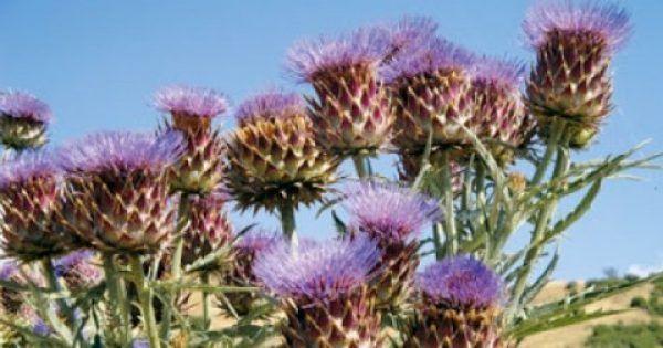 Το γαιδουράγκαθο είναι ένα βότανο θησαυρός που κάθε σπίτι πρέπει να έχει στο ντουλαπάκι του! Παρόλο που οι ιδιότητες του είναι δημοσιευμένες και παραδεκτές