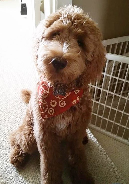 35 Best Goldendoodle Haircuts Images On Pinterest Goldendoodle Haircuts Golden Doodles And
