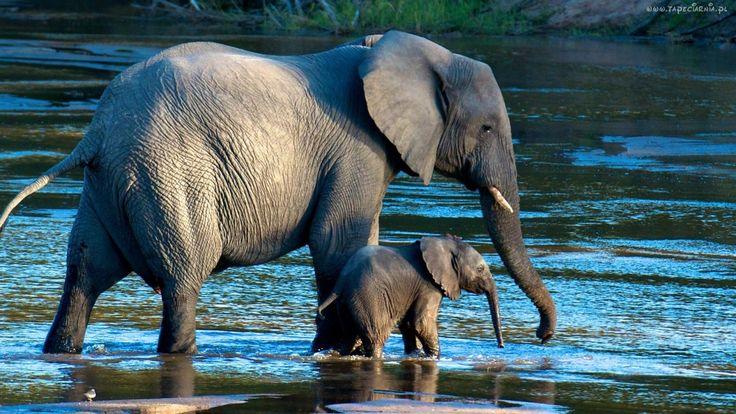 Słoń, Słoniątko, Rzeka