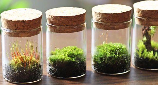 育てる 苔 を