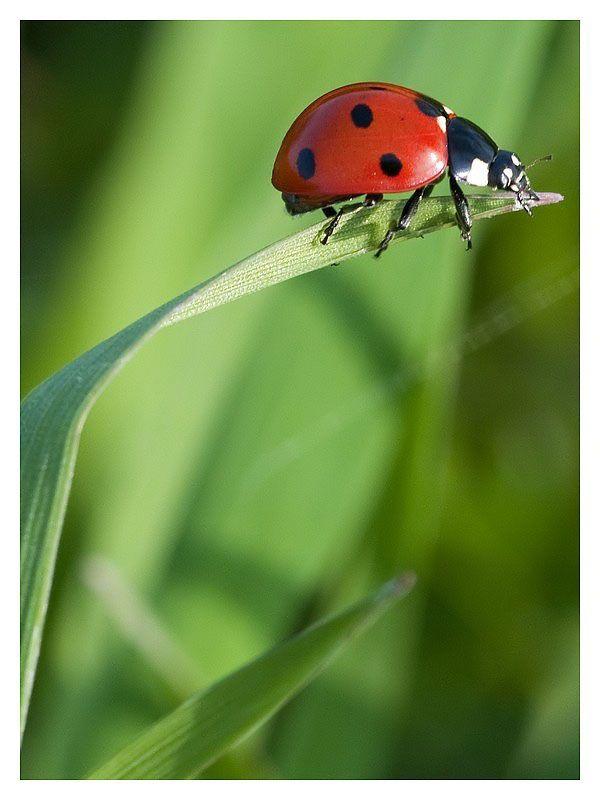 coccinella - Lady bug