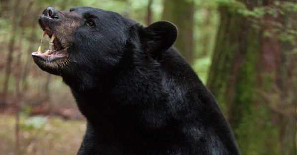 How to Survive a Black Bear Attack #outside magazine