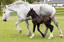 WADEBRIDGE, ENGLAND - MAY 24: A week old shire horse foal walks with her mother Orla at Cornwall's Crealy Adventure Park on May 24, 2013 near Wadebridge, England. - Matt Cardy/Getty Images News/Getty Images