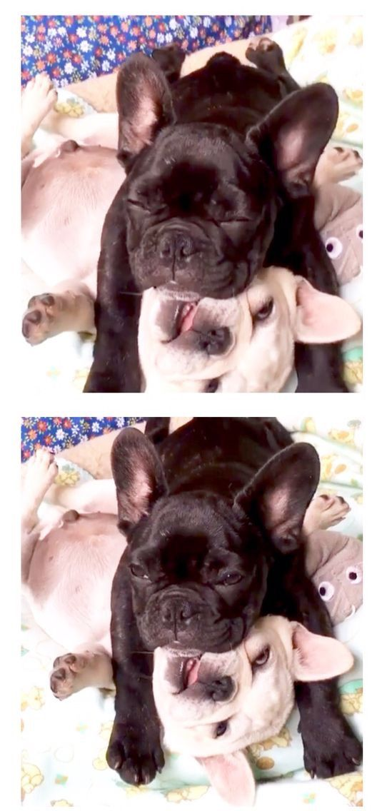 French Bulldog Puppies playing❤️🐾 http://ift.tt/294BzKJ on Frenchie Friends Being Fuzzy via