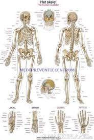 menselijk lichaam skelet human zoeken