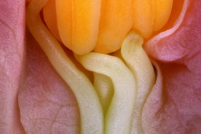 An image from the 2013 Olympus BioScapes competition submitted by Mr. Charles Krebs - Specimen: Camellia bud Interior, dissected, showing immature anthers and filaments against the unopened flower petals.  Technique: Epi-illumination, 40x