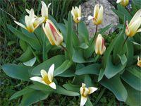 Tulipánhagymák gondozása