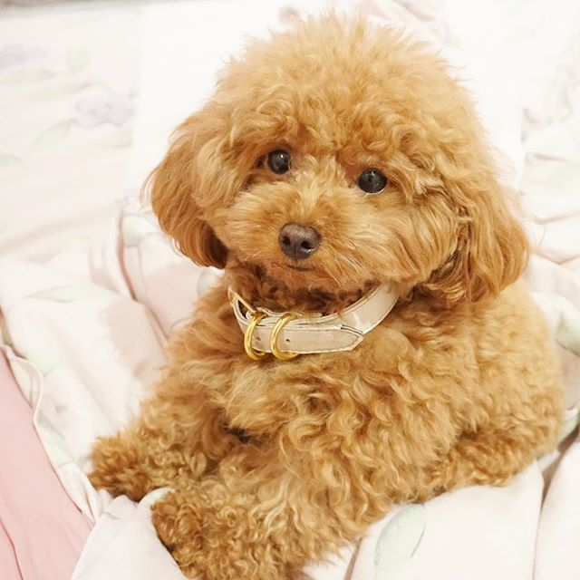 Ginger Doodle the toy poodle............................. O___________________O