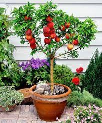 Resultado de imagem para frutas plantadas em vasos