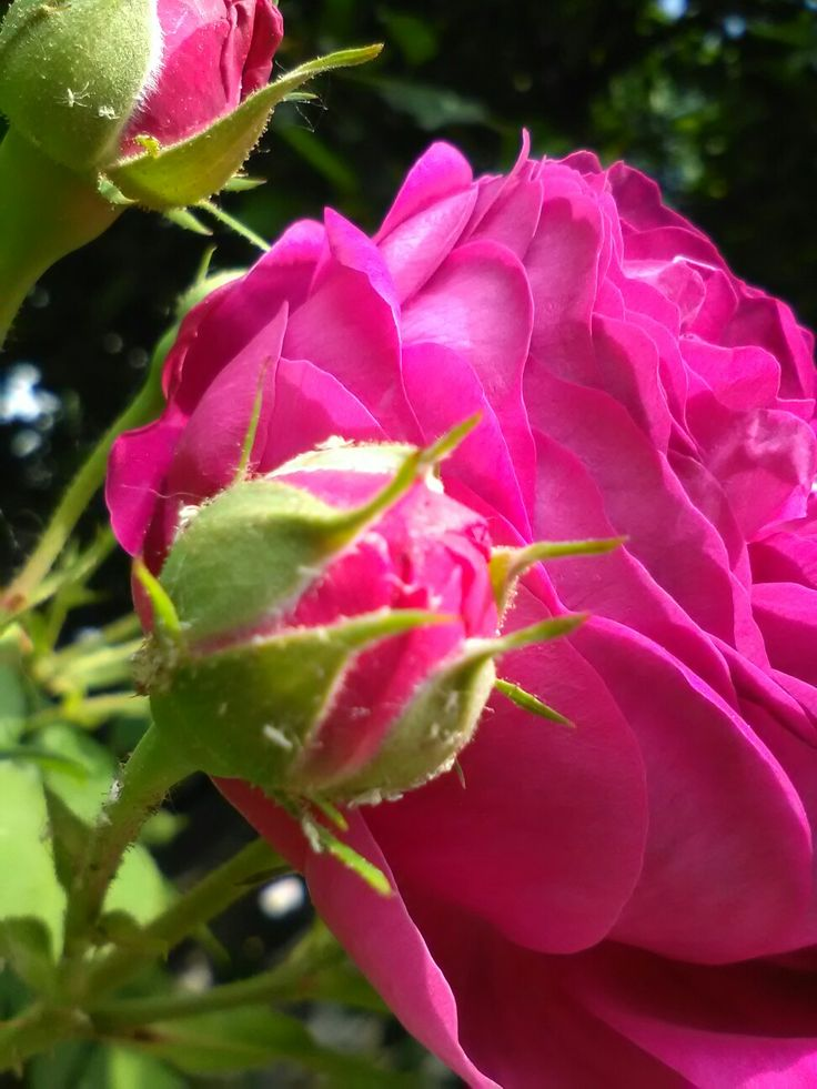 #pinkrose #cutebabyrose