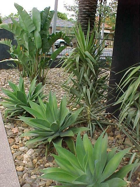 agave yucca bird of paradise backyard gems pinterest trees spanish and agaves. Black Bedroom Furniture Sets. Home Design Ideas