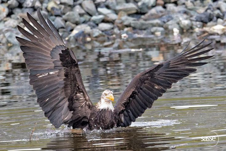 Sasse Photo January 23 ·    Eagle Wingspan in Water - Feel Free to Share Comment: I just got the right moment when this eagle was bathing and opened its wings - just appreciate the enormous wing span! — with Mike N. Gonzales, Stephen Casimir Romanowski, Gary L Bechtel, Kayla Hawkes, April M Carnes and Efren Tila in Delta, British Columbia.