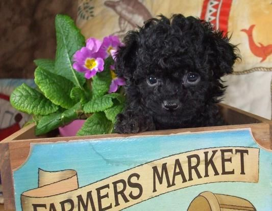 Black Teacup Poodle Puppy