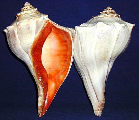 Florida Whelk ~ Large Shells